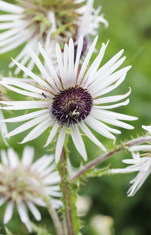 Berkheya purpurea flower