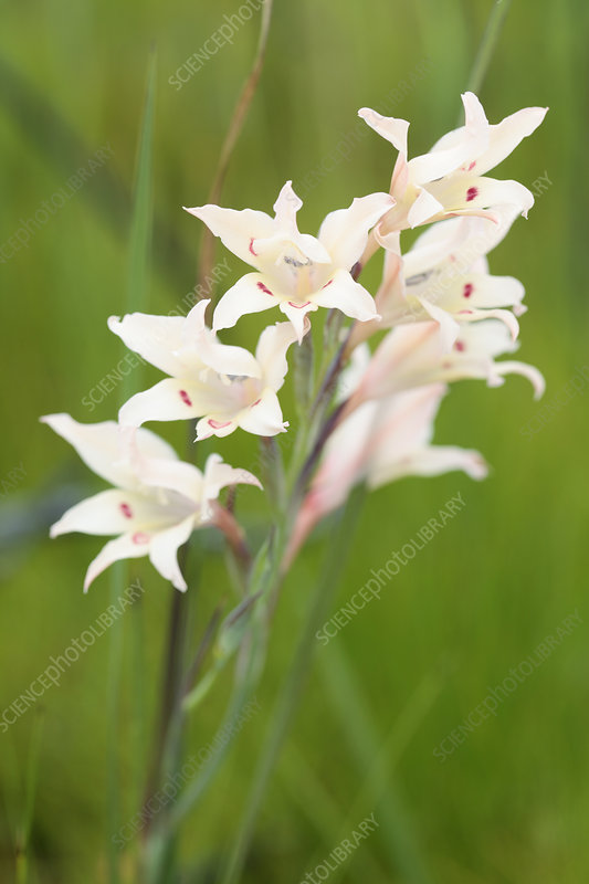 Painted lady (Gladiolus carneus) flowers