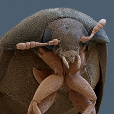 Brown carpet beetle, SEM