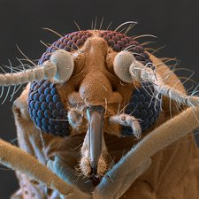 Biting midge head, SEM