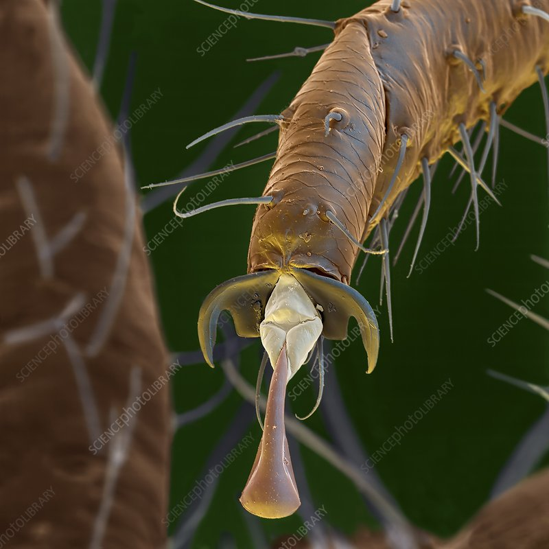 Common green lacewing leg, SEM