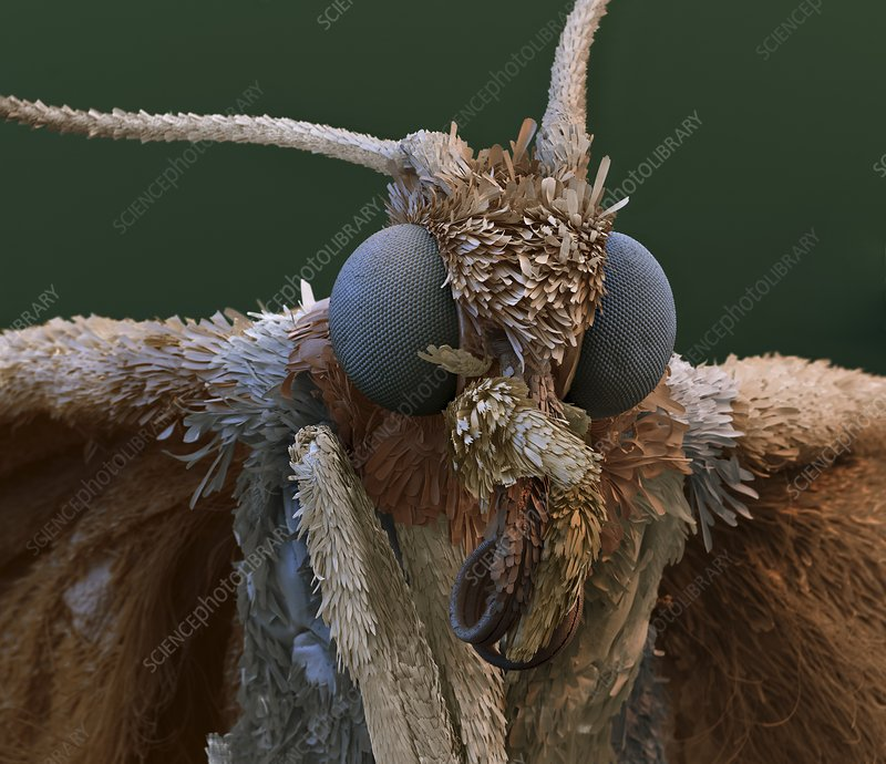 Indian mealmoth, SEM