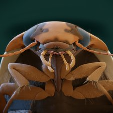 Diving beetle, SEM