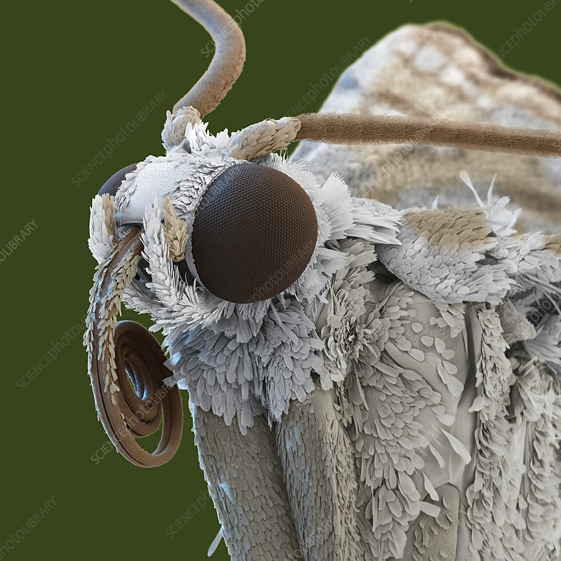 Brown china mark moth head, SEM