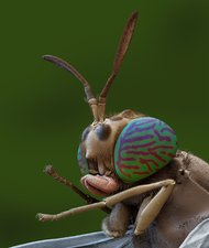 Soldier fly head, SEM