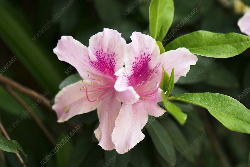 Rhododendron 'George L Taber' flowers