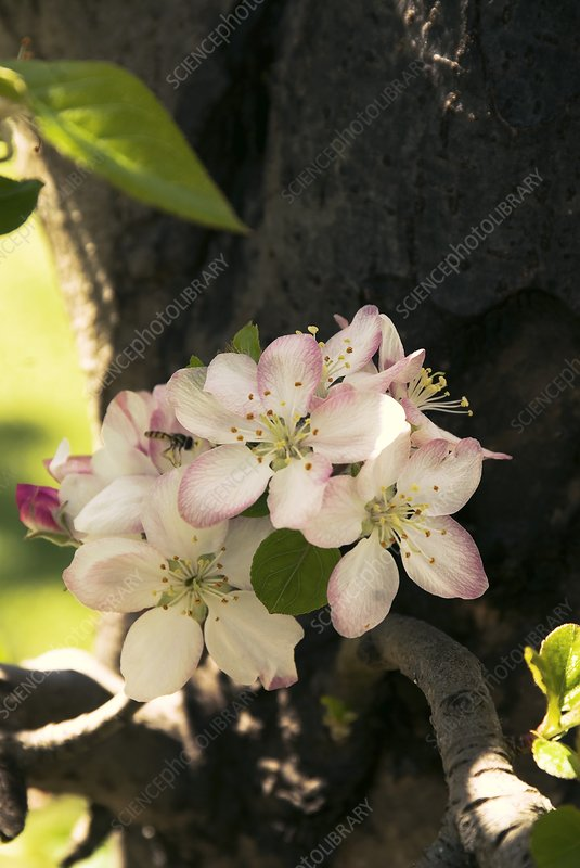 Apple (Malus domestica) 'Pink Lady'