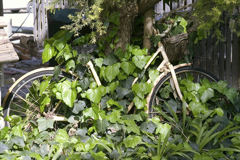 Rusty bike covered in ivy