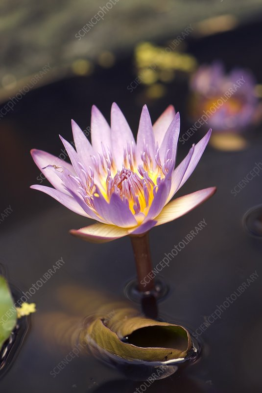 Waterlily (Nymphaea capensis) flower