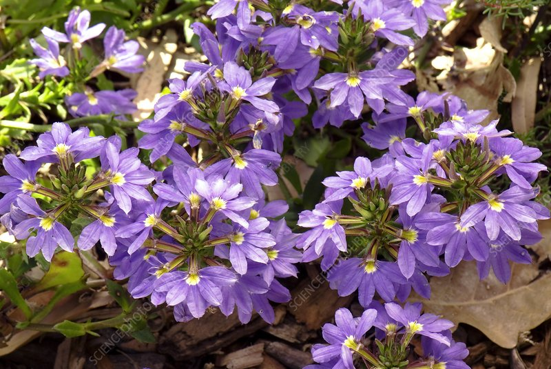 Scaevola 'Purple Fanfare' in flower