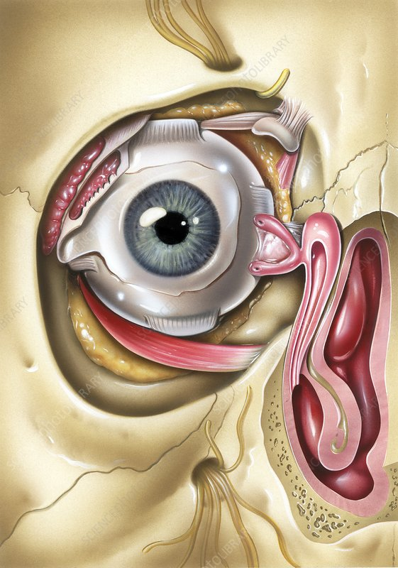 Lacrimal apparatus of the eye, artwork