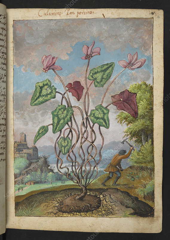 Cyclamen, 16th century illustration