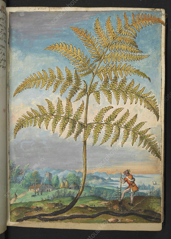 Fern, 16th century illustration