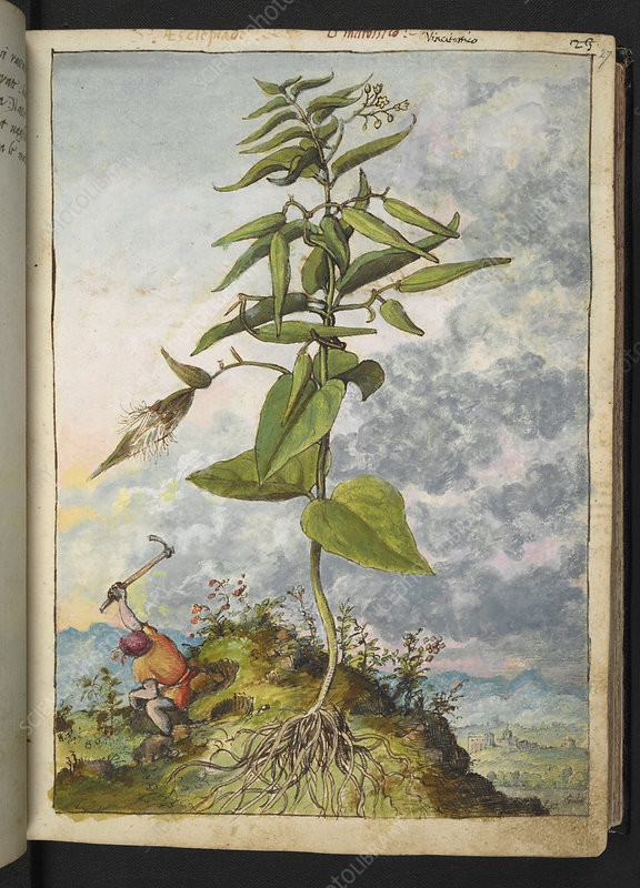 Milkweed (Asclepias sp.), illustration