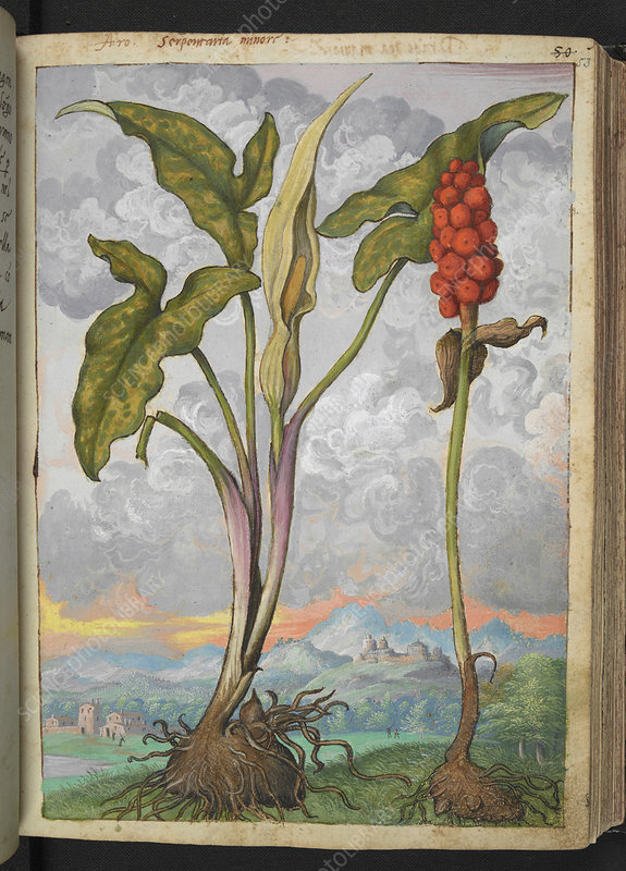 Arum italicum, 16th century illustration