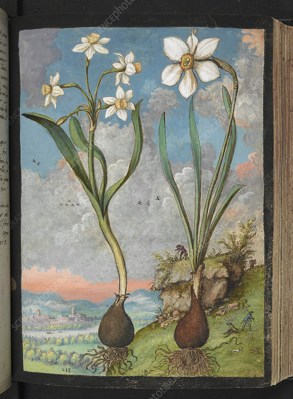 Narcissus sp., 16th century illustration