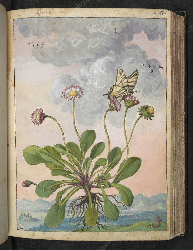 Daisy (Bellis perennis), illustration