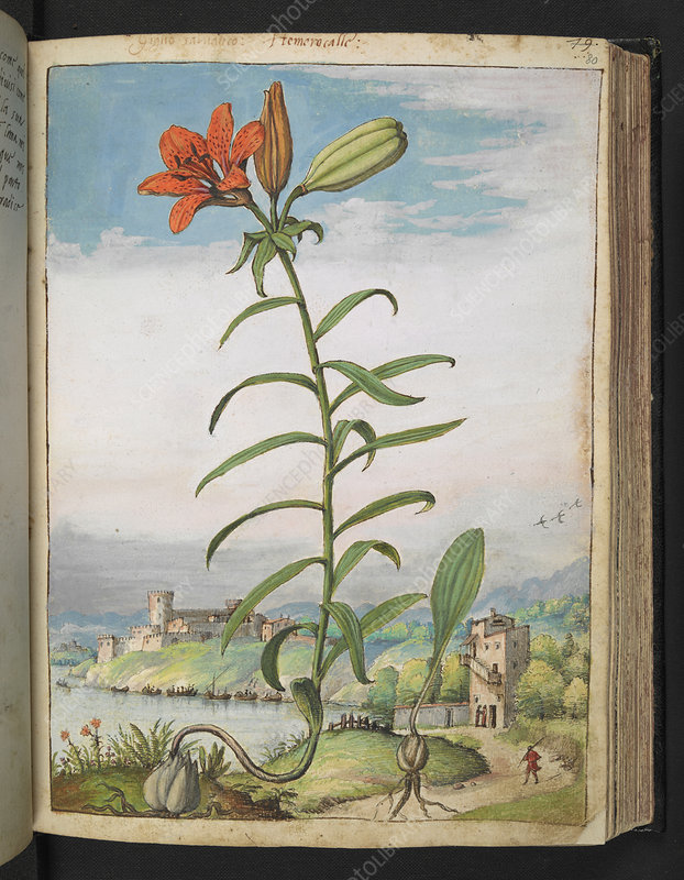 Orange lily, 16th century illustration