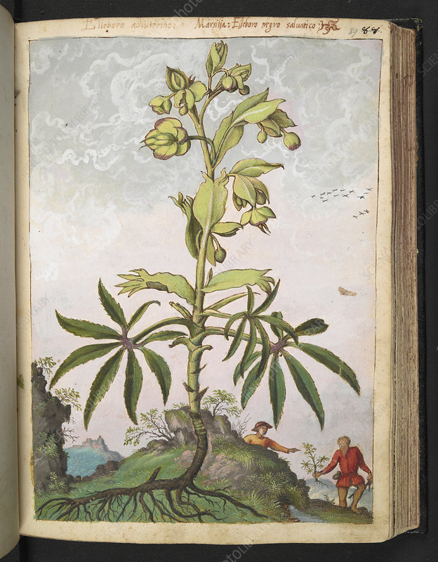 Hellebore (Helleborus sp.), illustration