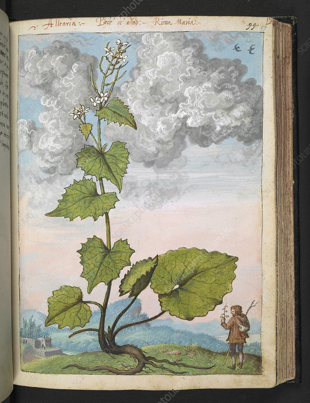 Medicinal plant, illustration