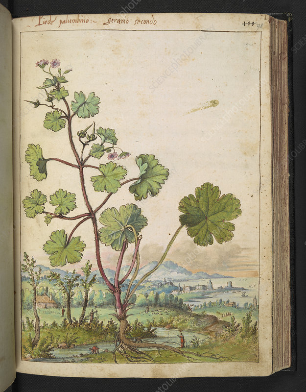Medicinal plant,16th century illustration