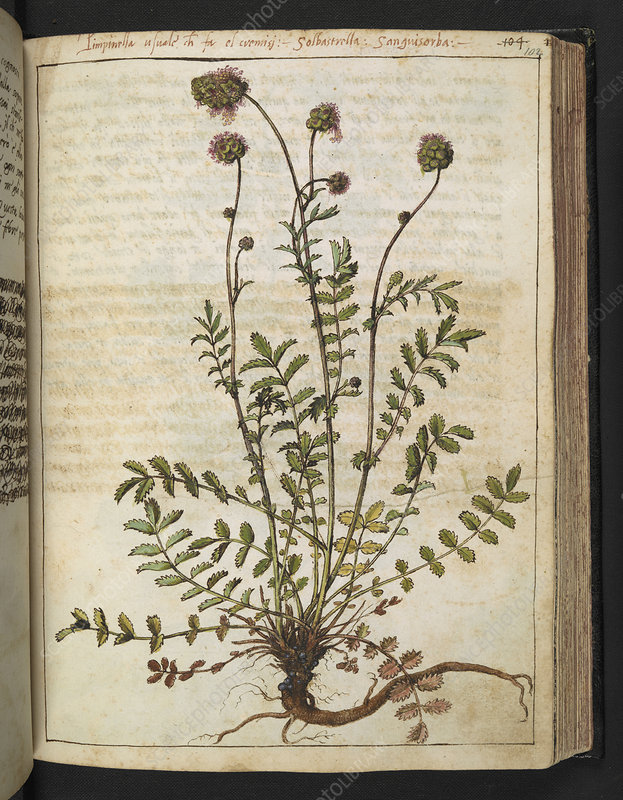 Pimpinella sp., 16th century illustration