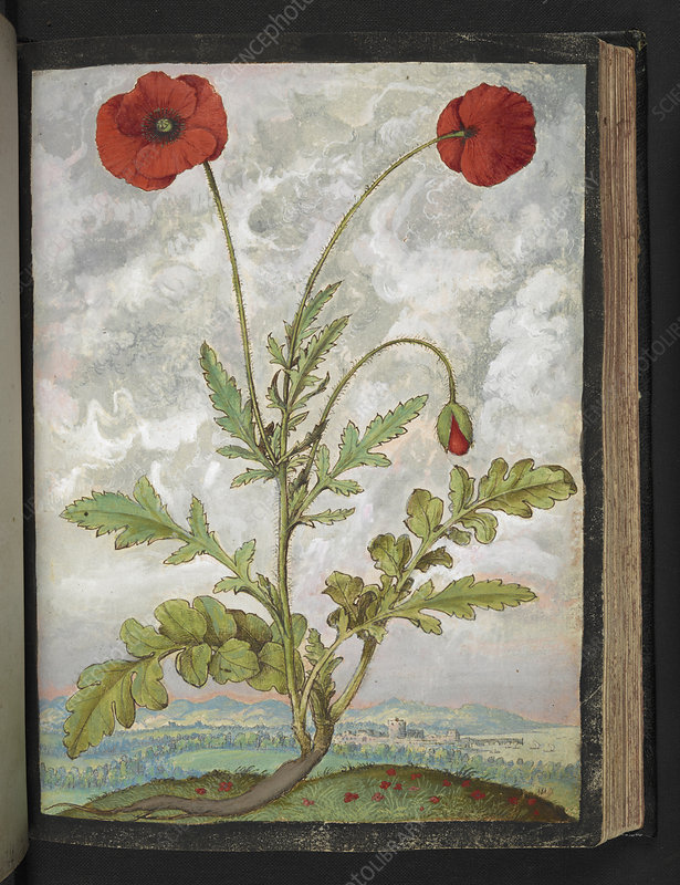 Poppy (Papaver sp.), illustration