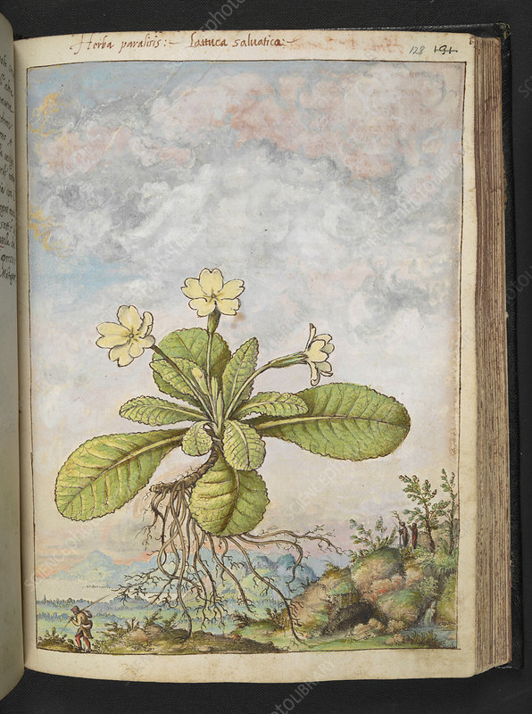 Primrose (Primula vulgaris), illustration