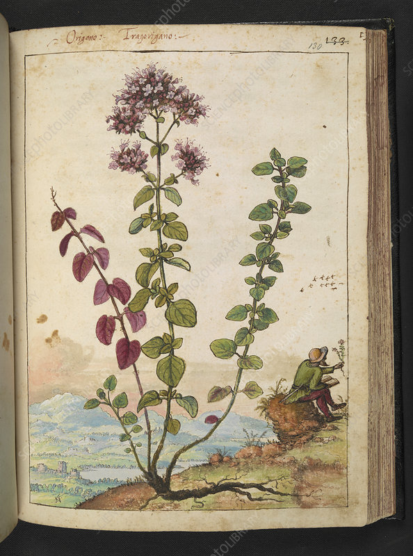 Origanum sp., 16th century illustration
