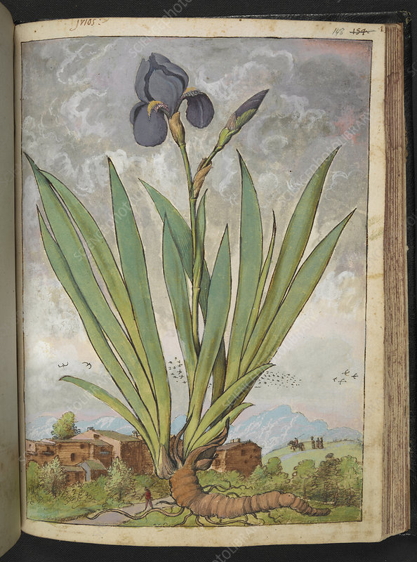 Iris, 16th century illustration