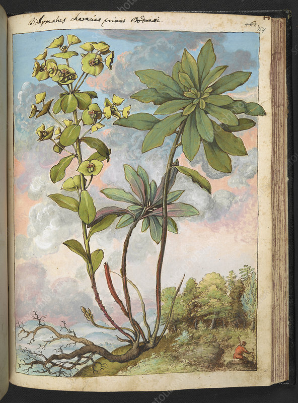 Euphorbia characias, illustration