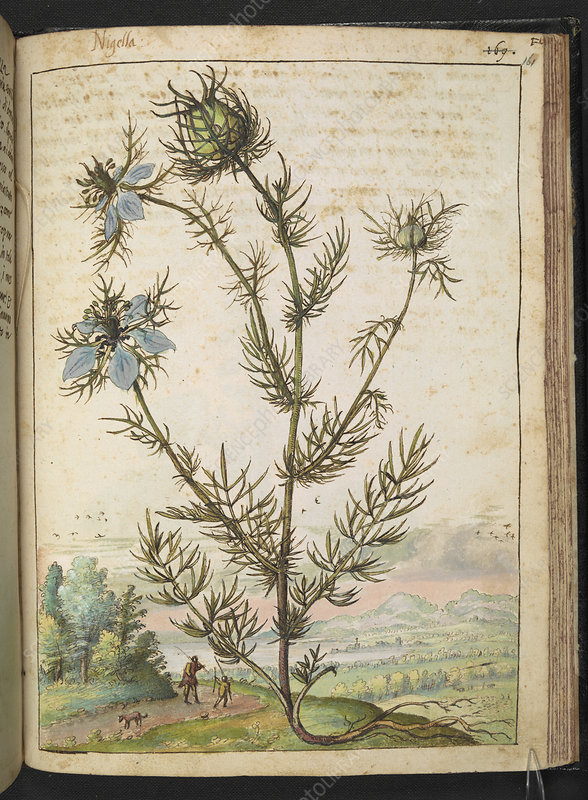 Nigella, 16th century illustration