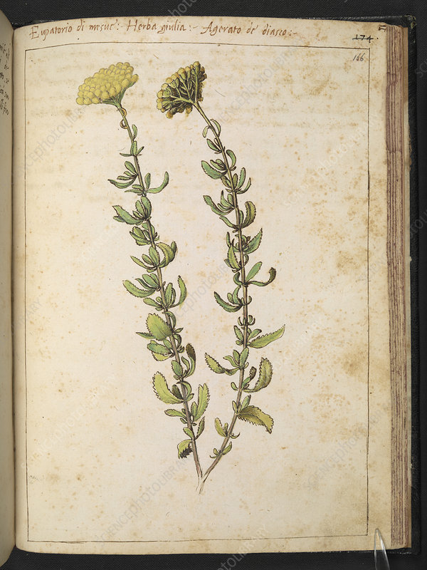 Eupatorio plant, illustration