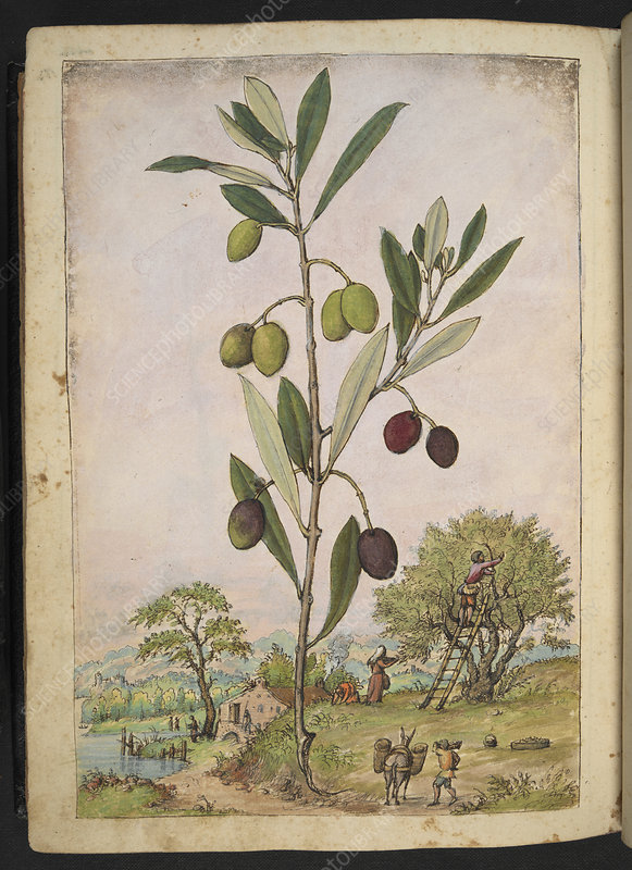 Olive (Olea europaea), illustration