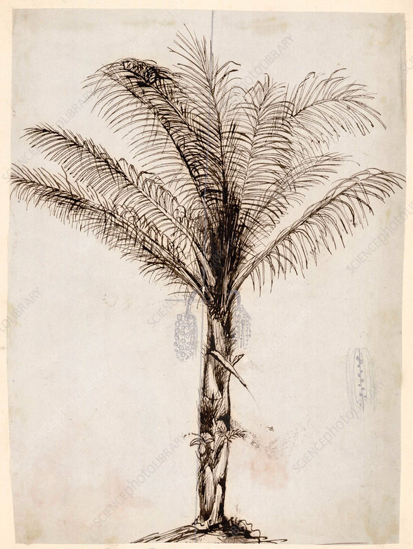 Sugar palm, 19th century illustration