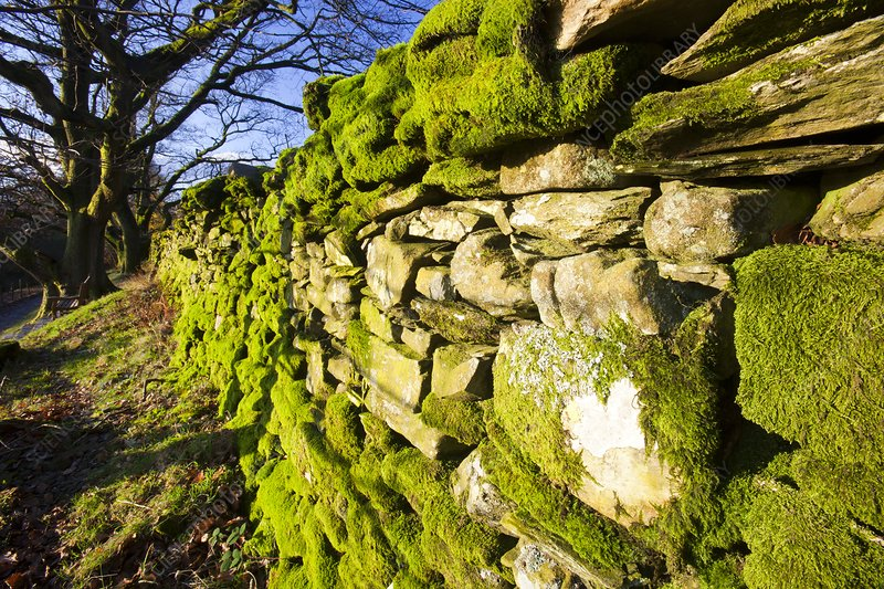 Moss on a drystone wall