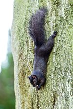 Black squirrel eating a nut