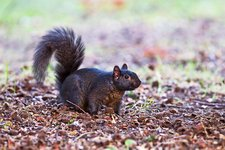 Black squirrel on the ground