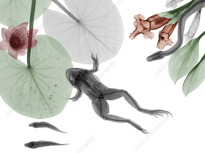 Frog and water lillies, X-ray