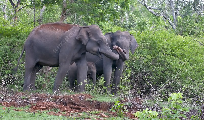 Asian elephants with calf
