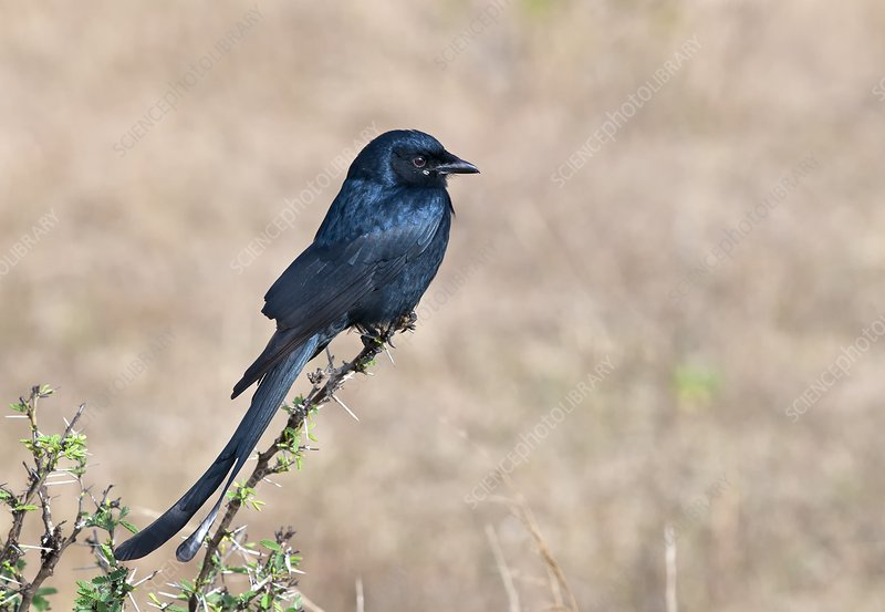 Black drongo perched on a branch