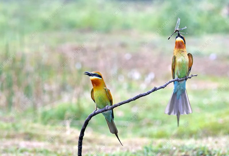 Blue-tailed bee-eater courtship gift