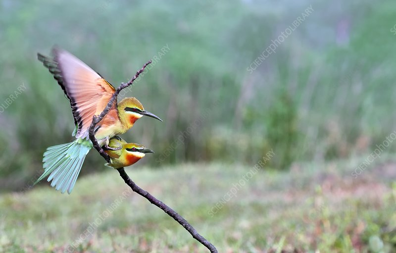 Blue-tailed bee-eaters mating