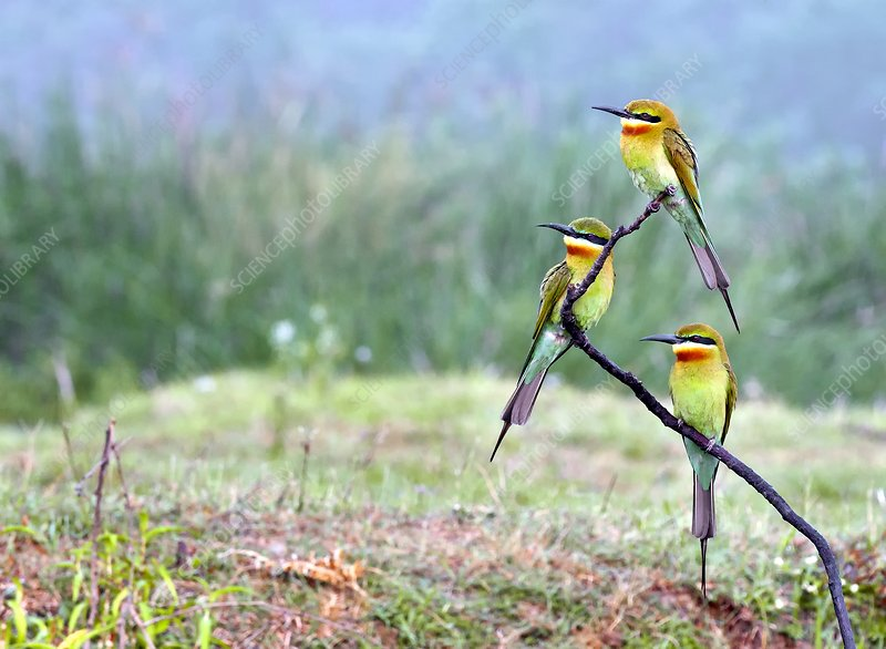 Blue-tailed bee-eaters perching