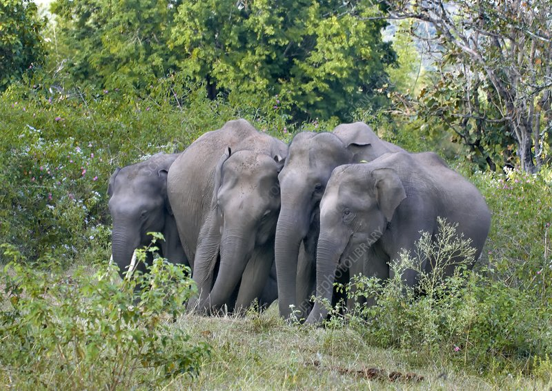 Asian elephants at a mineral lick