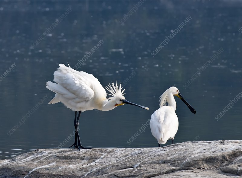 Eurasian spoonbill courtship display