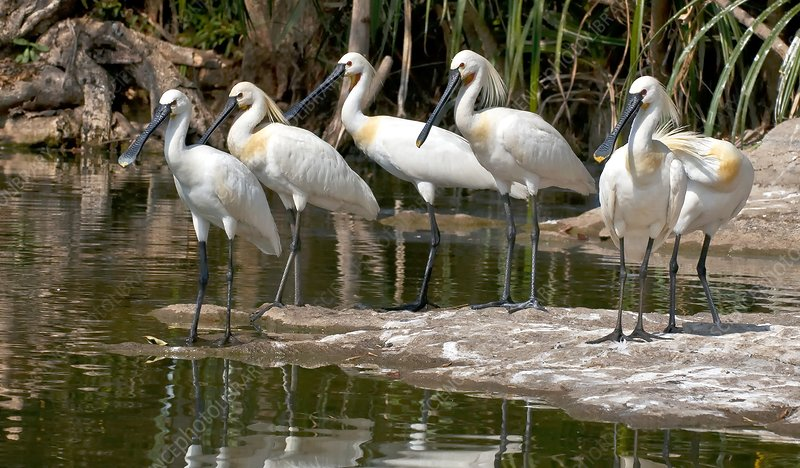 Eurasian spoonbills at water's edge