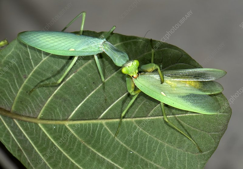 Asian mantis eating her mate
