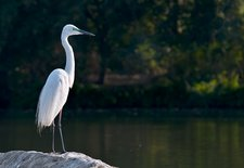 Great egret at water's edge