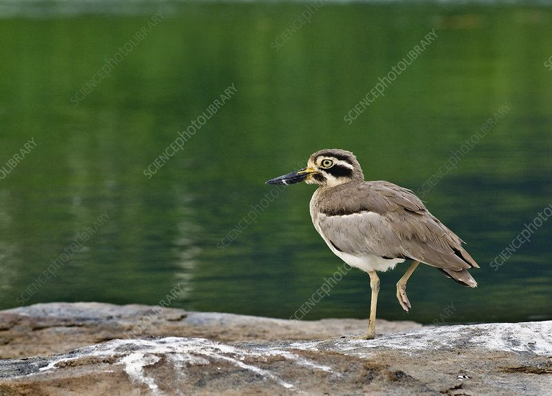 Great stone-curlew by water
